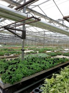 The greenhouse at Ravensworth Nursery heated by biomass