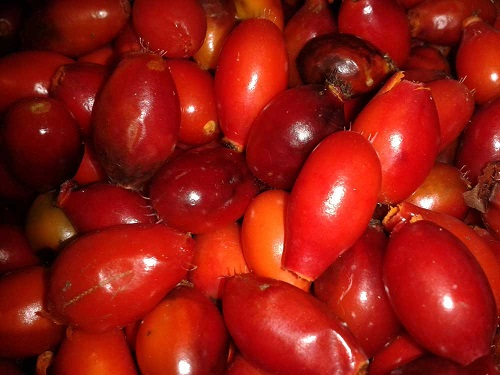 Rosehips foraged for cordial at a foraging workshop