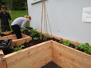 Incredible Edible Ambleside volunteers planting up a raised bed