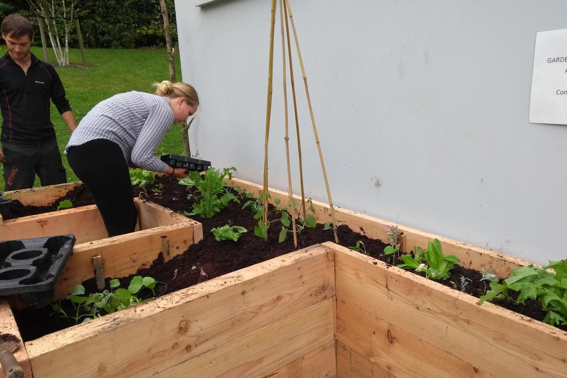 Incredible Edible Ambleside volunteers planting up a veg bed